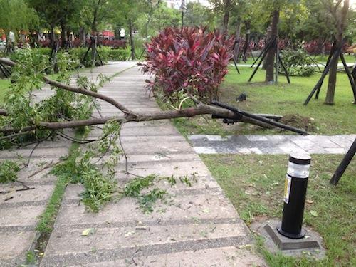 Typhoon Soulik uprooted tree