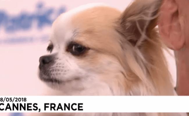 Chihuahua In Dogman Wins 2018 Palm Dog Award Movie Paws