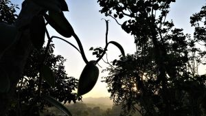 Sonnenuntergang im Vanillefeld in Papantla