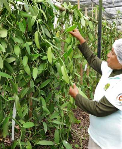 Vanilleanbau bei Mexikos größtem Vanilleproduzenten