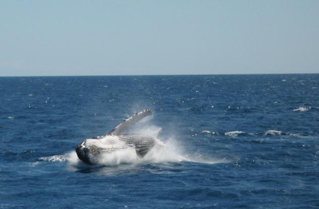 humpback-whale-leaps-with-joy-having-seen-nalaka-at-last-30-aug-2007.jpg
