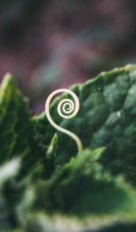 Spiral seedling emerging from leaves