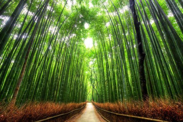 Sagano, la forêt de Bambou, Arashiyama, Japon3