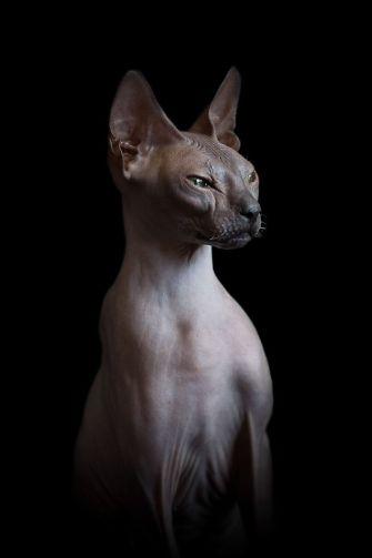 Alicia Rius réalise des portraits étonnants de Sphynx