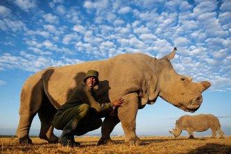 Des rangers protègent le dernier mâle rhinocéros blanc du Nord