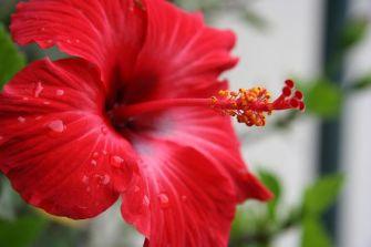 La rose de Chine : Tout savoir sur l'hibiscus