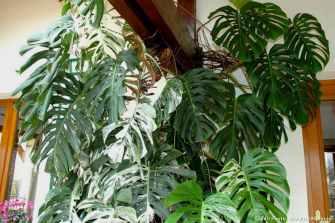 Philodendron : Tout savoir sur la star du décor tropical