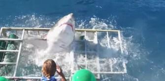 Un requin blanc fracasse la cage d'observation d'un plongeur