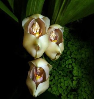 orchidée-rare-bébé-qui-dorment-dans-leurs-berceaux