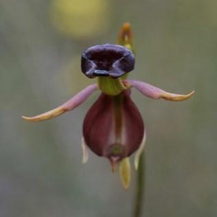 orchidée-rare-orchidée-canard-étonnante-la-vie-des-orchidées