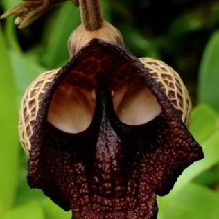 orchidée-rare-une-orchidée-sinistre-orchidées-merveilleuses