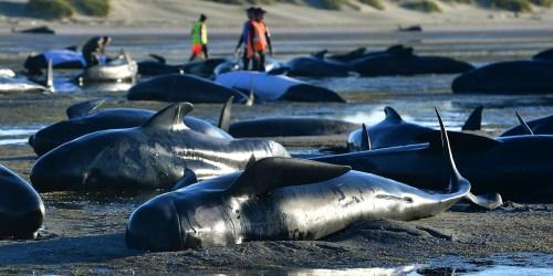 Baleines-echouees-en-Nouvelle-Zelande-risques-d-explosion-des-carcasses