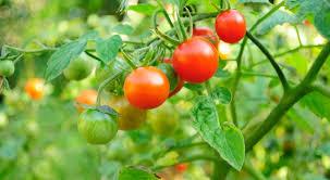 semis de tomates avec la lune