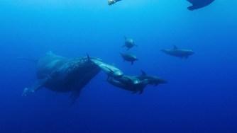 Blue, le dernier Disney Nature tourné en partie en Polynésie
