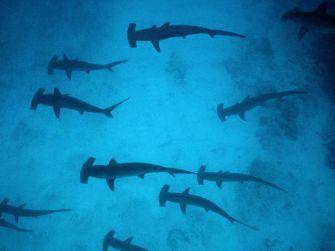 Galapagos, une pouponnière secrète abrite des requins marteaux
