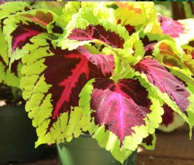 grow-coleus-propagate-root-coleus-cuttings-care-best-varieties-1 (4)