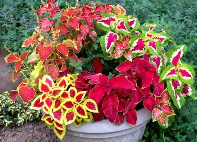 grow-coleus-propagate-root-coleus-cuttings-care-best-varieties-3 (2)
