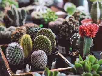 Tout savoir sur le cactus