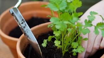 Comment faire pousser du persil en intérieur ?