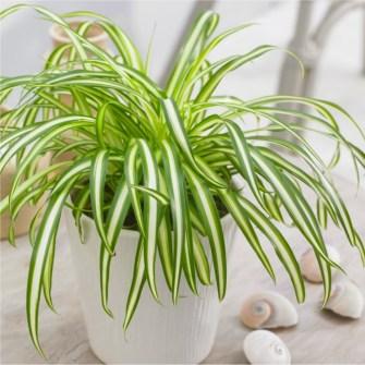 Les astuces pour faire pousser les plantes araignées