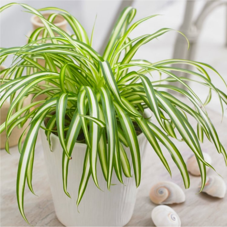 variegated-spider-plant750x750