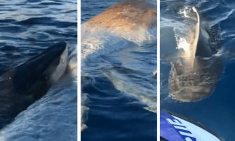 Un cachalot mort fait le bonheur des requins tigres