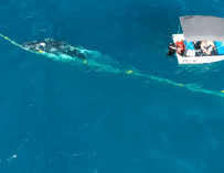 Un plongeur libère une baleine à bosse coincée dans un filet anti-requin