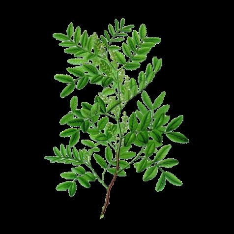 huile-essentielle-lentisque-pistachier-bio