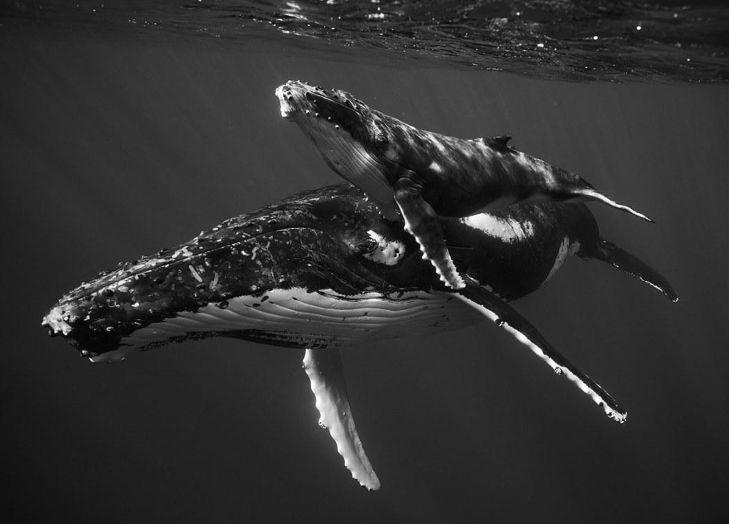 Giants-humback-whale-1