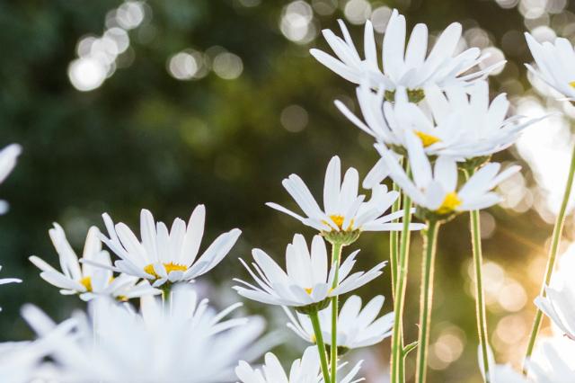 daisies // movita beaucoup