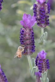 The bees love our lavender!
