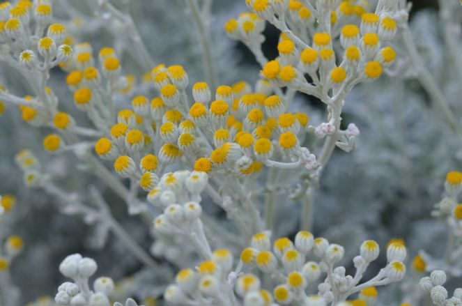This dusty miller has gone wild, and is full flower.