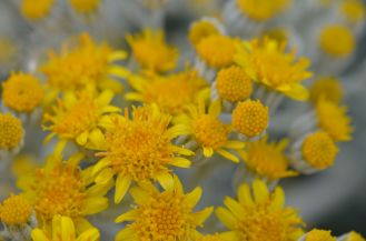Up close on some of the dusty miller's open flowers.