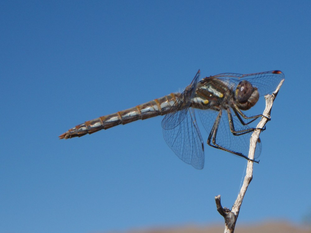 Dragonfly-Variegated-Meadowhawk