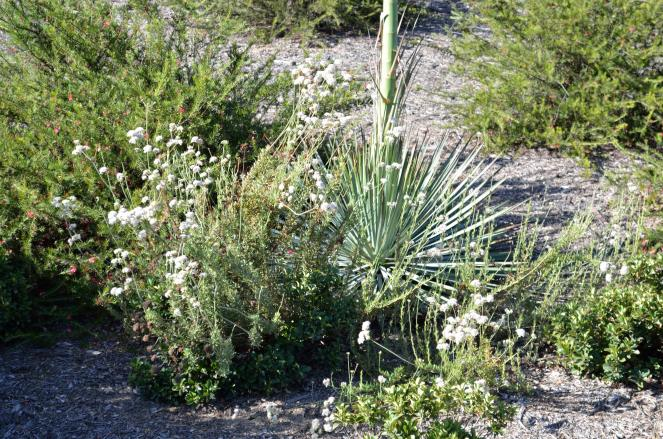 Here's a California buckwheat growing at the bottom of the yucca plant that was photographed in flower a month ago.