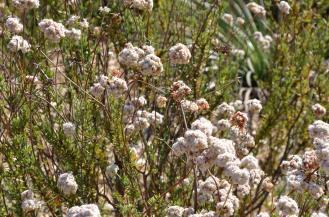 Buckwheat 03