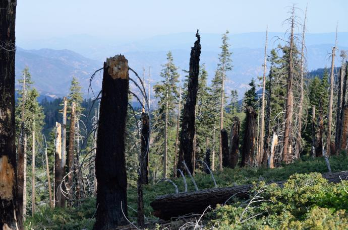 Sequoias live in a pyrrhic ecosystem - fires clear out other species to make room for sequoias, and the fire also opens the cones to allow sequoias to germinate.