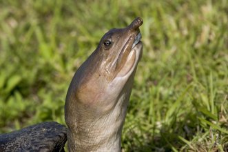 The soft-shelled turtle can stay underwater ... except for his protruding nose, which he breathes through. From the Everglades NP Facebook page.