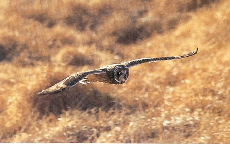 The Pueo or Hawaiian short-eared owl is the only owl endemic to the Hawaiian Islands and is considered an ʻaumākua or guardian spirit in the Hawaiian culture. The Pueo inhabit the forests and grasslands throughout the islands and are diurnal, meaning they are active during the day. Pueo are susceptible to the same threats as the other native birds such as habitat degradation or loss, disease, and predation from mammals such as mongoose as the owl's nests are found on the ground leaving eggs and young birds vulnerable. When visiting the summit district of Haleakalā, keep an eye out for one of these beautiful birds as you drive through the cattle ranch outside of the park to the park entrance station as they may be silently gliding through the air hunting a mouse, insects, or other birds for its next meal. From the Haleakala National Park Facebook page.