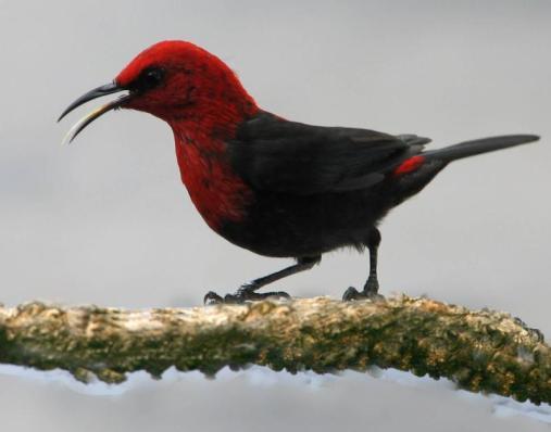 Photo of cardinal honeyeater, segasega mau'u. Photo from National Park of American Samoa website.