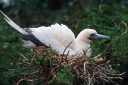 Red-footed booby. Photo from National Park of American Samoa website.