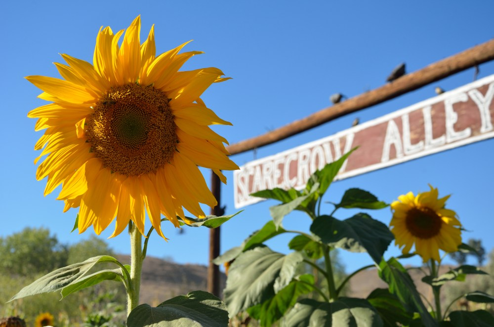 Sunflower 2013