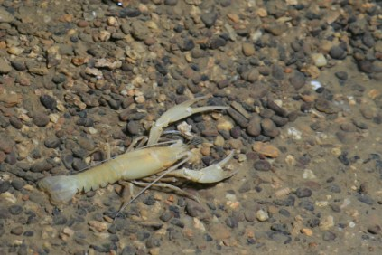 Cave Crayfish. From the Park's website.