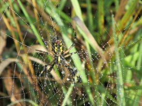 On a recent dewey early morning, this beautiful two-foot wide web caught my eye. The Black and Yellow Argiope Spider (argiope aurantia) is commonly called a garden spider. They are quite large (up to 2 1/2 inches) and are called orb weavers because they begin weaving the web at the center, spiraling out toward the edges. From the Park's Facebook page.