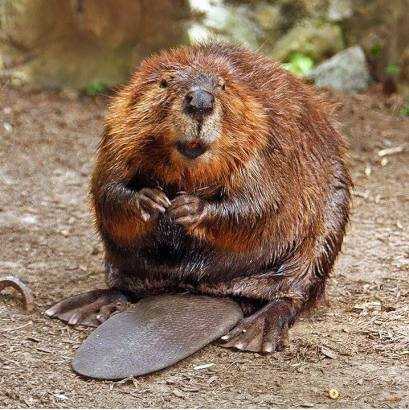 The beaver is North America's largest rodent. Most adult beavers weigh 40 to 70 pounds, but very old, fat beavers can weigh as much as 100 pounds! From the Park's Facebook page.