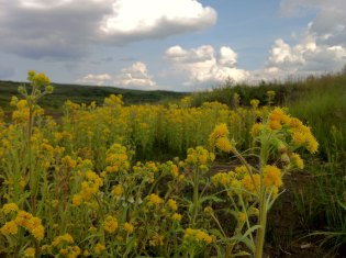 Northern goldenrod, near Wonder Lake. From the Park's Facebook page.