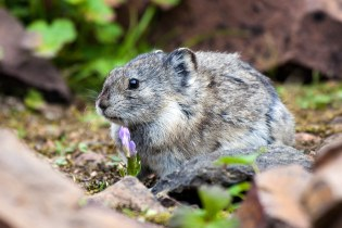 A collared pika sits next to a wildflower in Tattler Creek. Pika's are members of the same family as rabbits and hares and are sometimes referred to as rock rabbits. Photo by Daniel A. Leifheit. From the Park's Facebook page.
