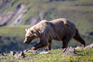 A grizzly bear wanders the tundra near Eielson Visitor Center. NPS Photo/Daniel A. Leifheit. From the Park's Facebook page.
