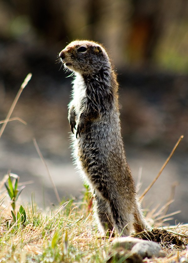 An arctic ground squirrel. Photo by: NPS Photo / Nathan Kostegian An arctic ground squirrel, one of the far north's true hibernators, standing up to get a better view around it. From the Park's website.