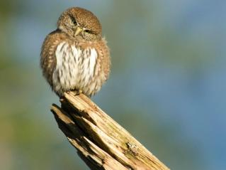 Northern pygmy owl. From the Park's website.
